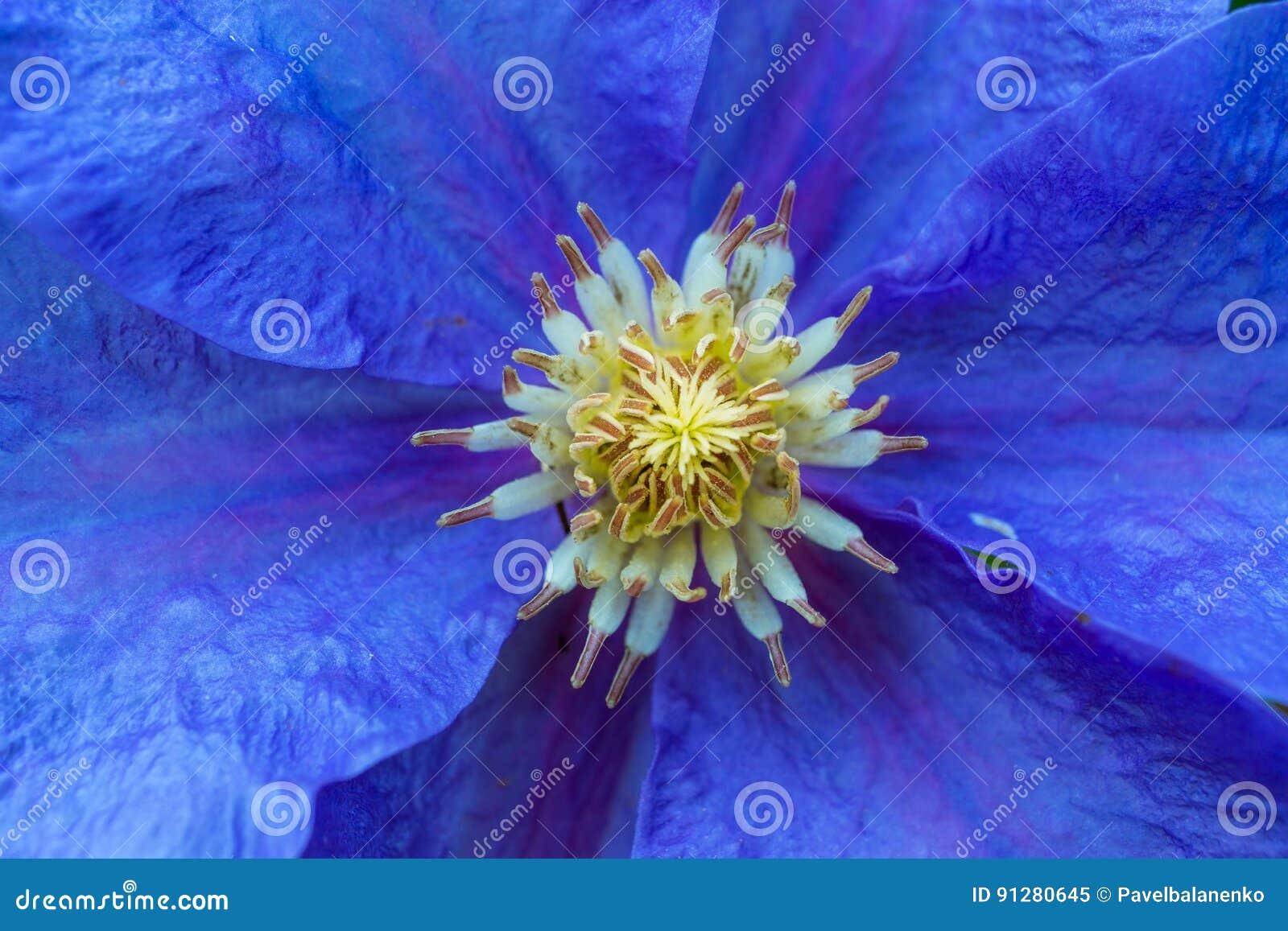 Makroskott av den härliga blåttblomman
