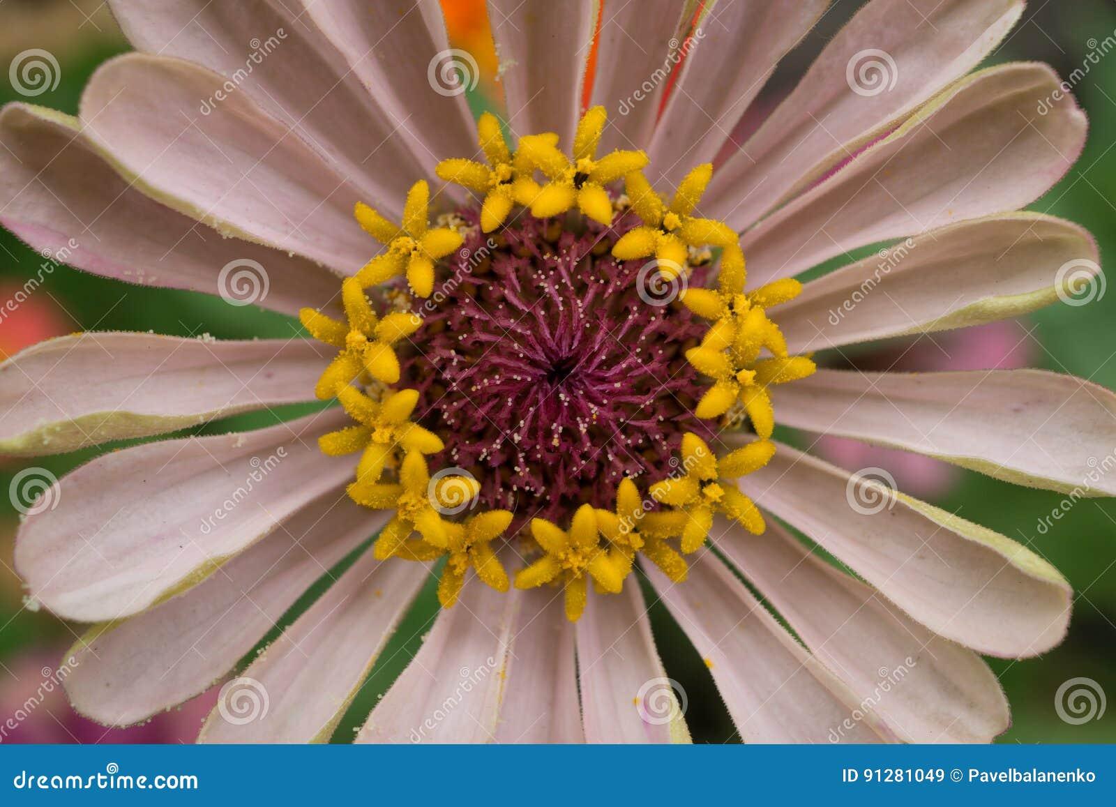 Makroskott av en gräns - rosa färger blommar