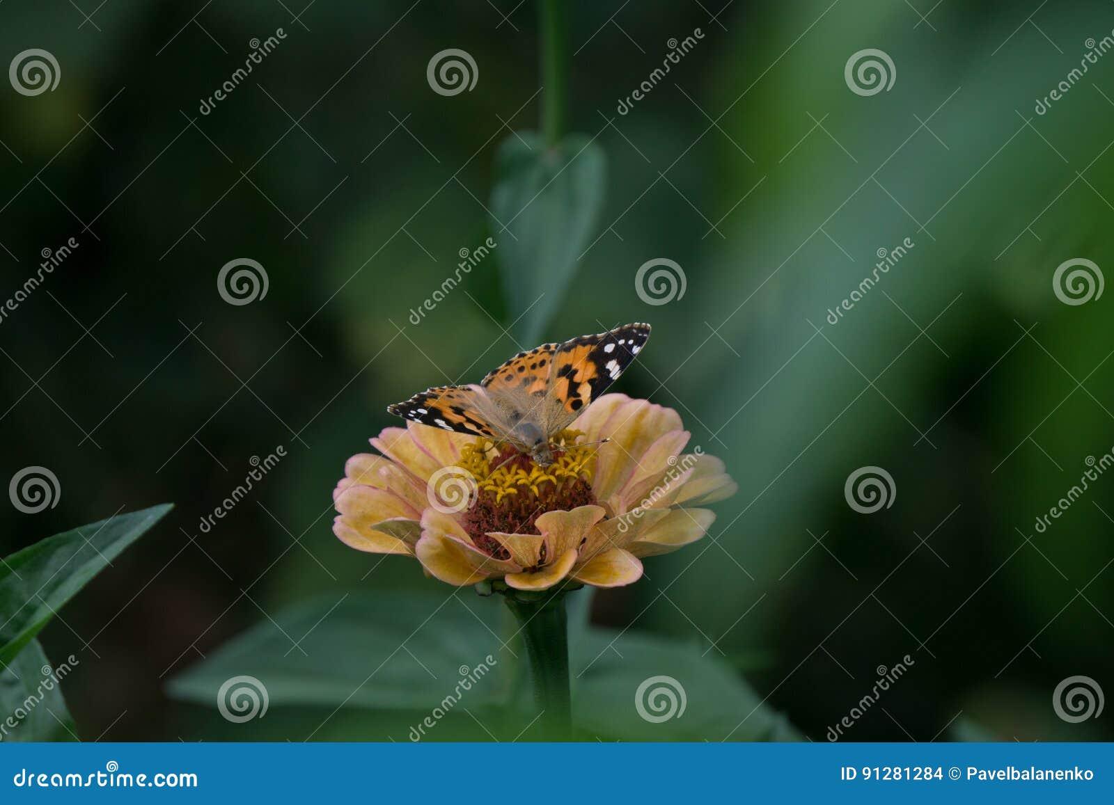 Makroskott av en härlig fjäril på en gräns - rosa färger blommar
