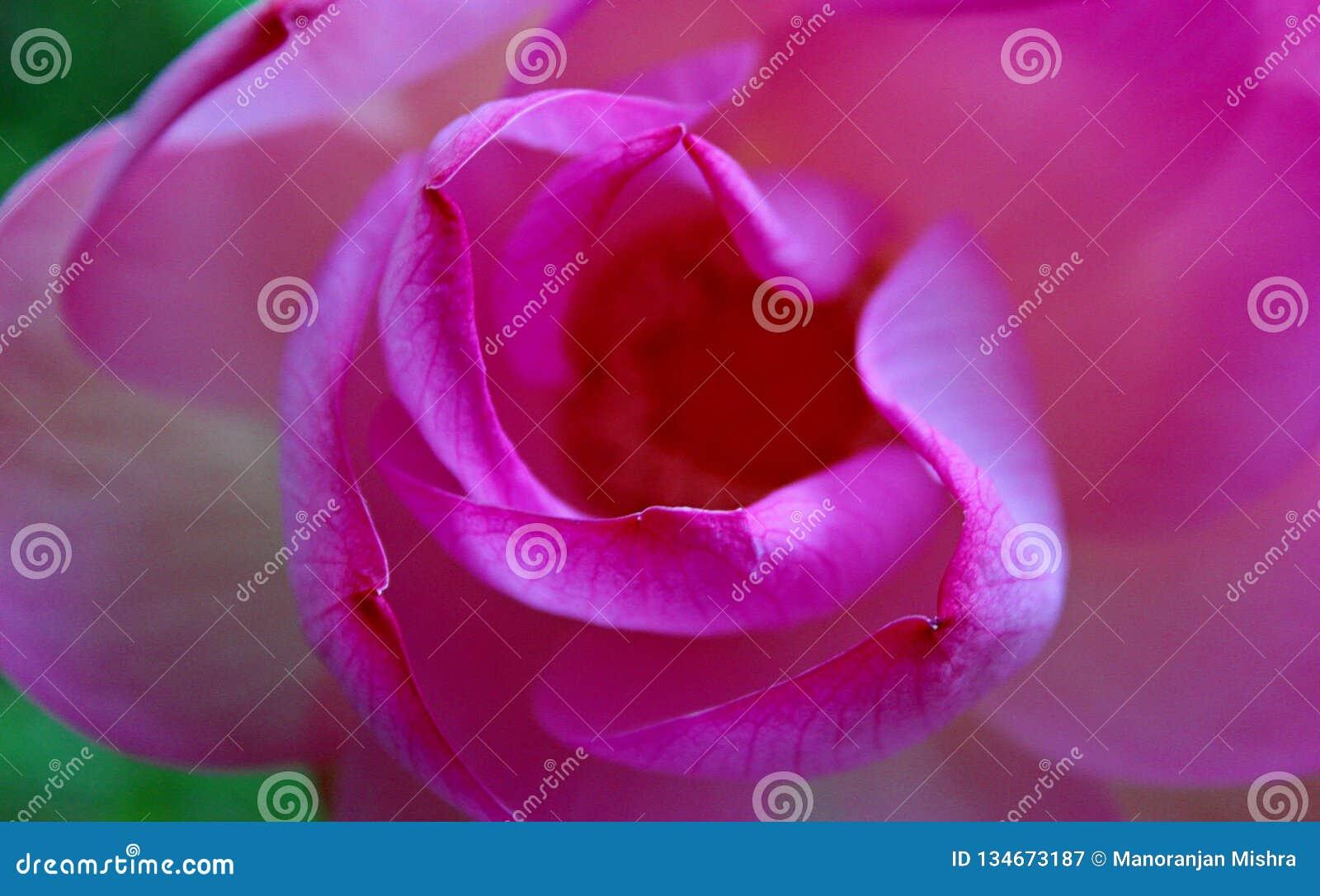 Makroskott på den rosa lotusblommablomman Fokuserat i gult pollen mjuk fokus på kronblad för bakgrund
