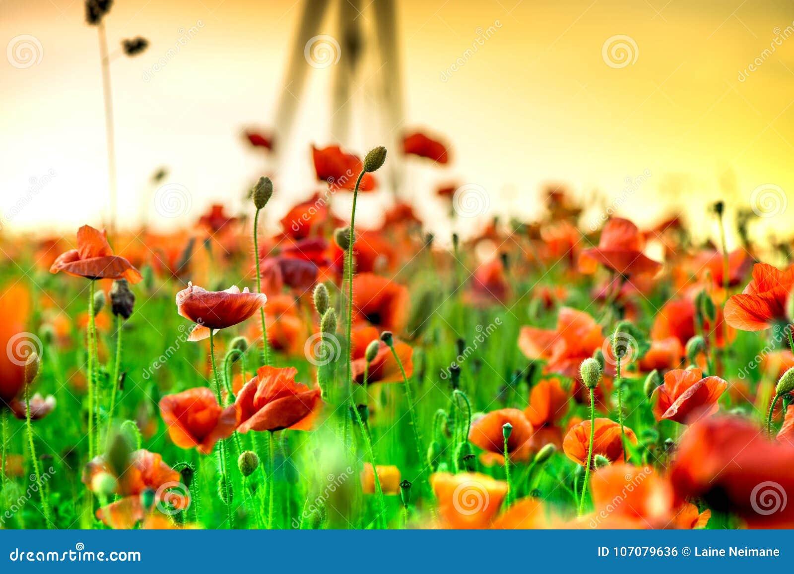 Makroskottet av en röd vallmoblom i ett färgrikt, abstrakt och vibrerande blomningfält, en äng av blommande sommar blommar mycket