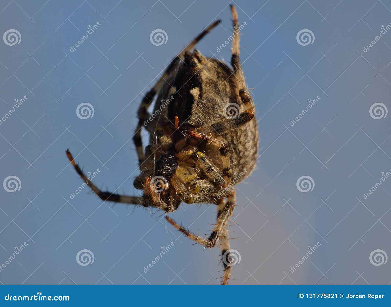 Makroslut upp av en spindel int som han arbeta i trädgården, foto som tas i UK