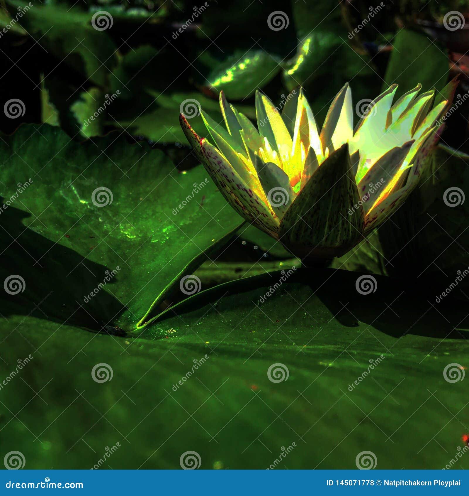 Makt av lotusblomma