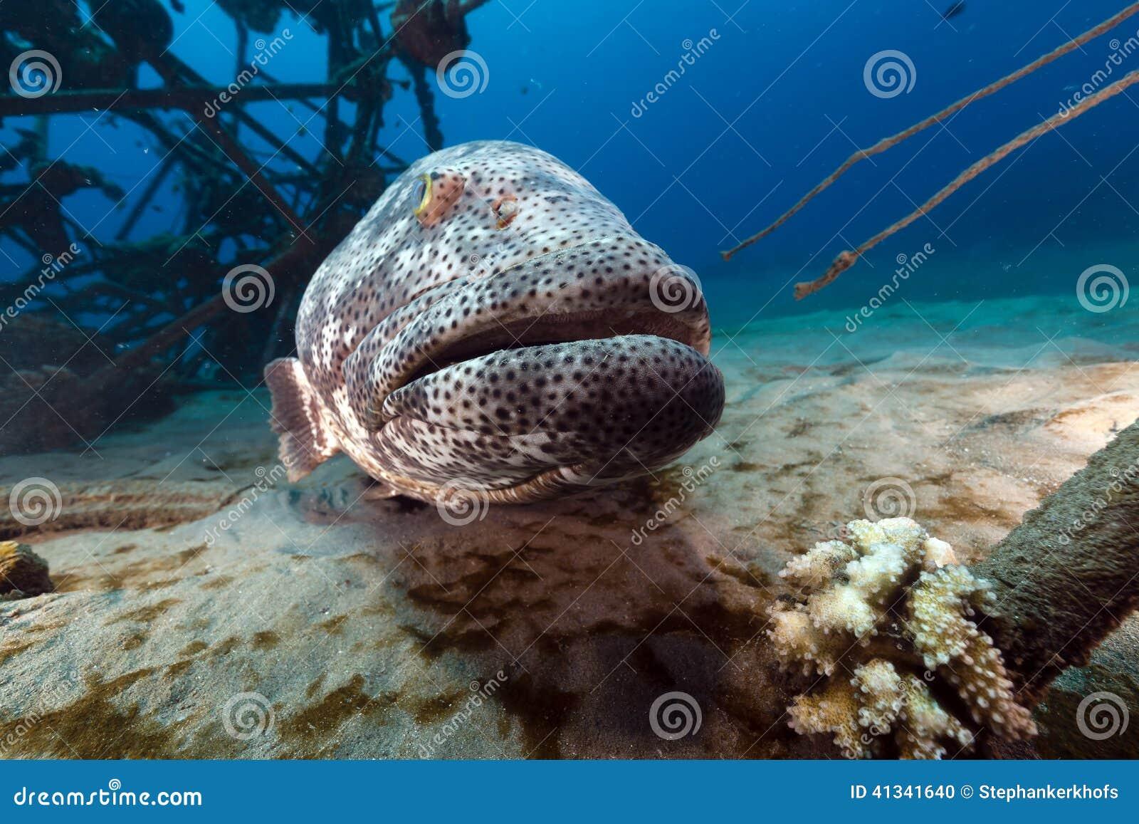 Malabartandbaars in het Rode Overzees