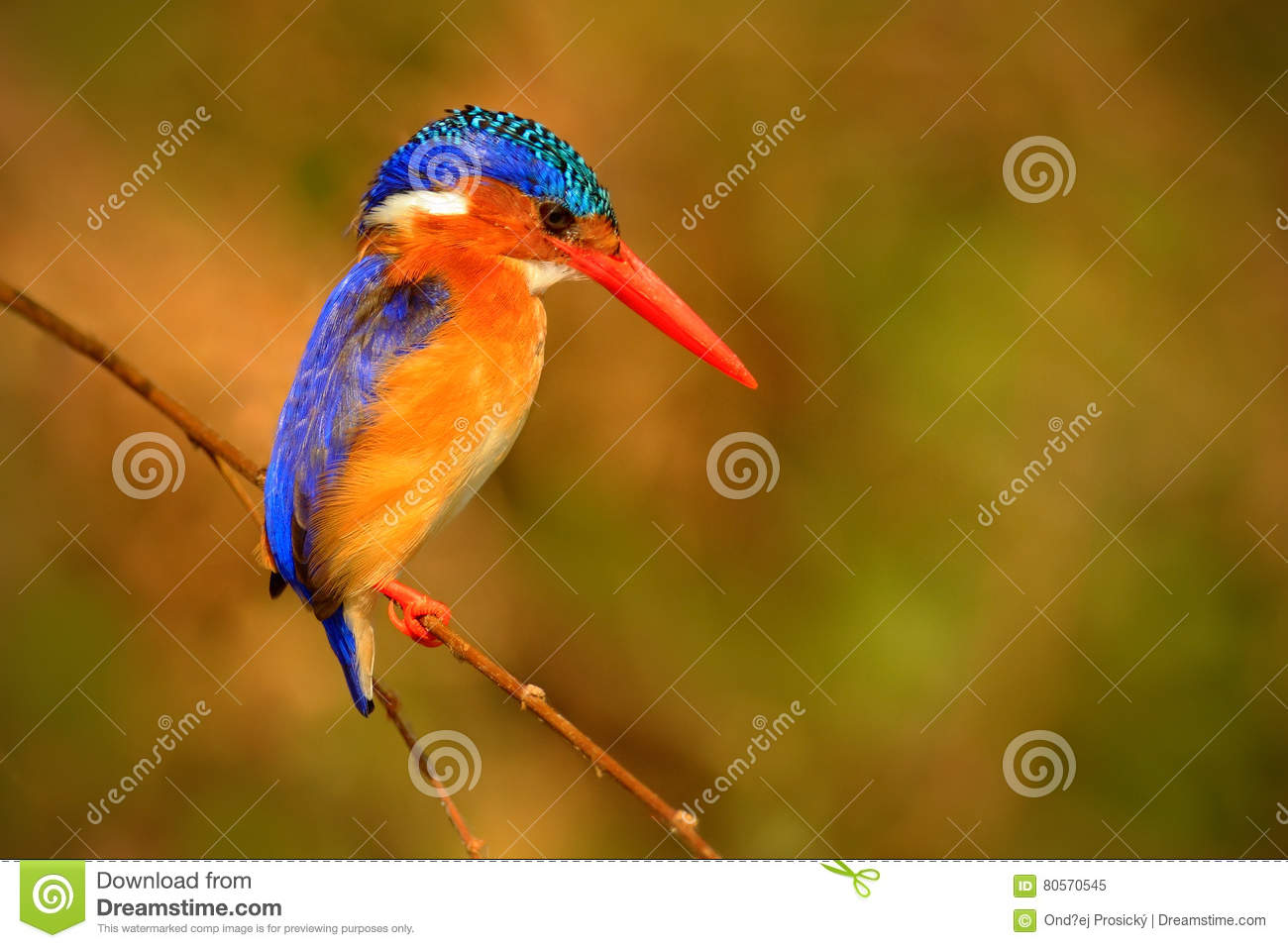 Download Malachite Kingfisher, Alcedo Cristata, Detail Of Exotic African Bird Sitting On The Branch In Green Nature Habitat, Botswana, Afri Stock Image - Image of bright, kingfisher: 80570545