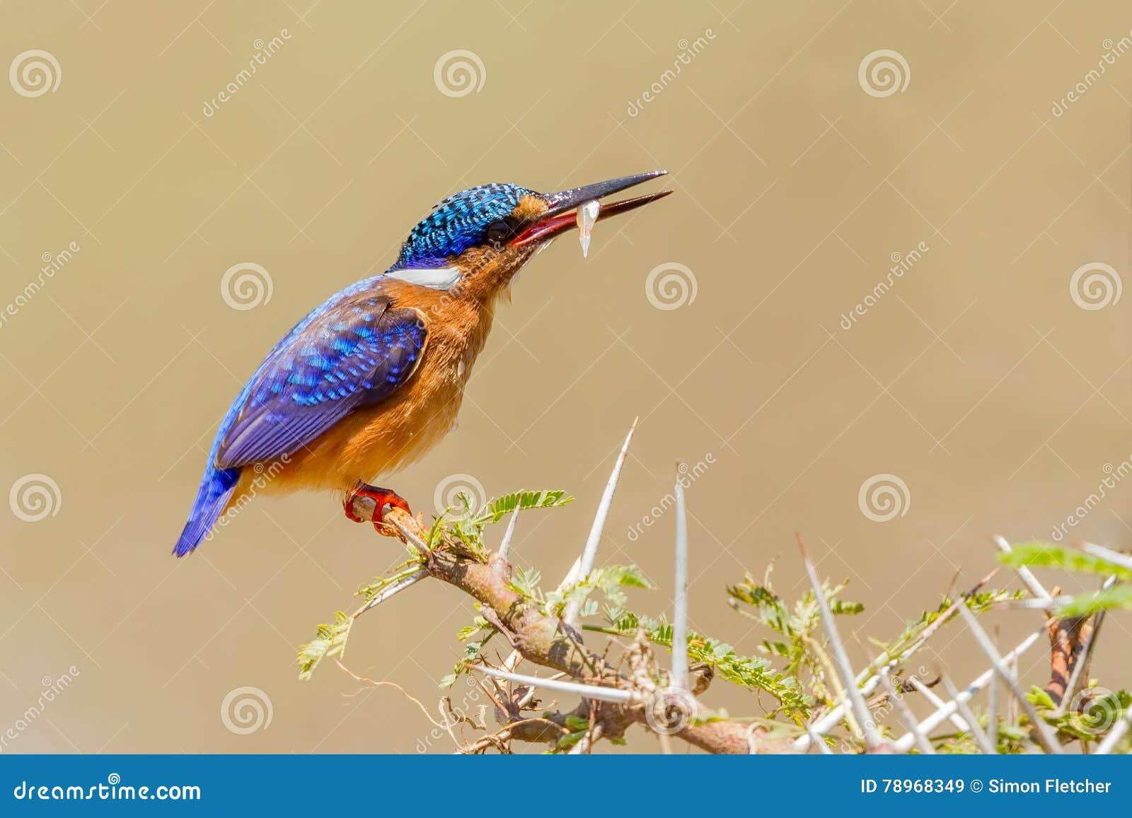 Malachite Kingfisher With Fishy Prey