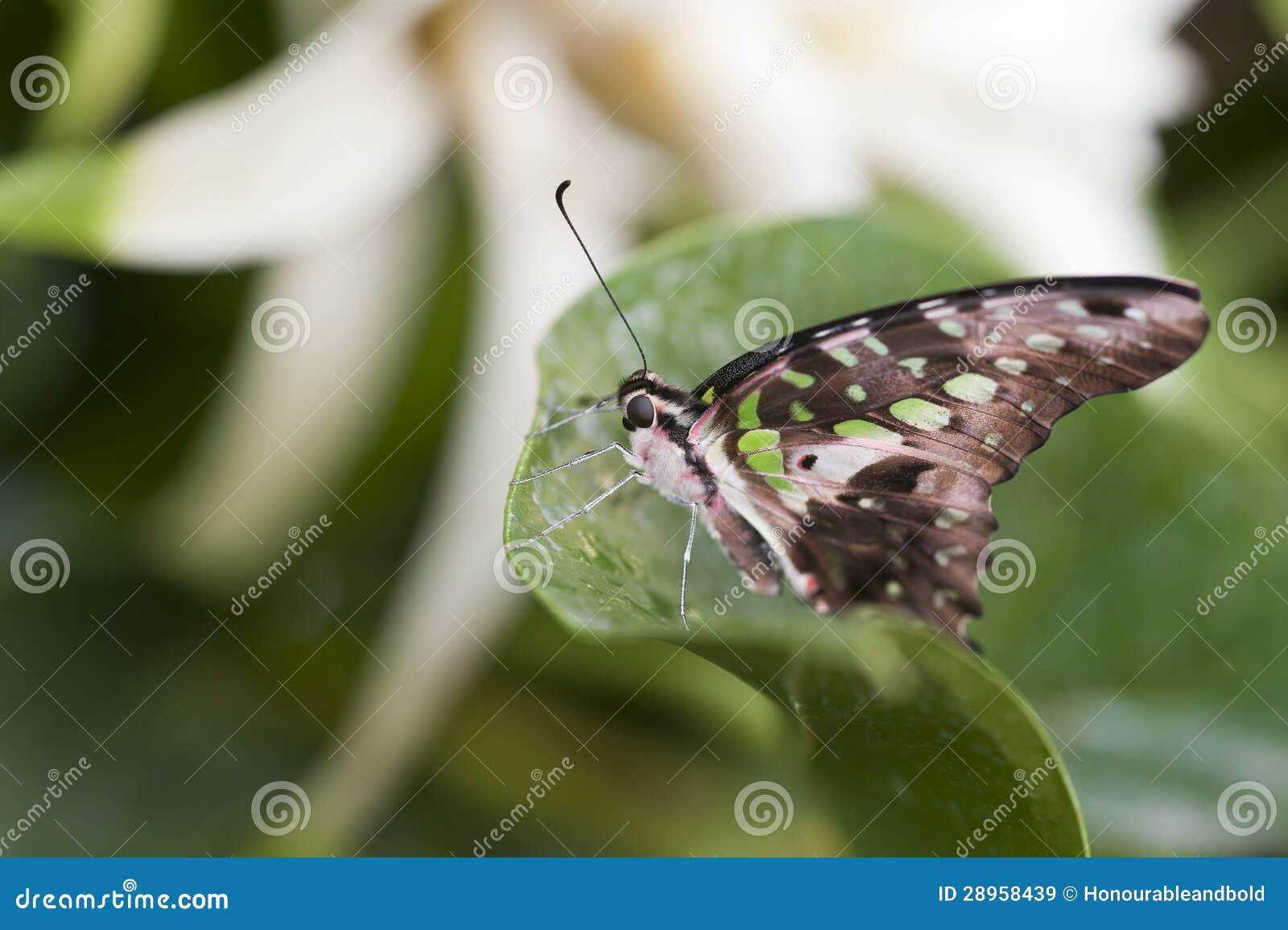 Malachitowy motyl