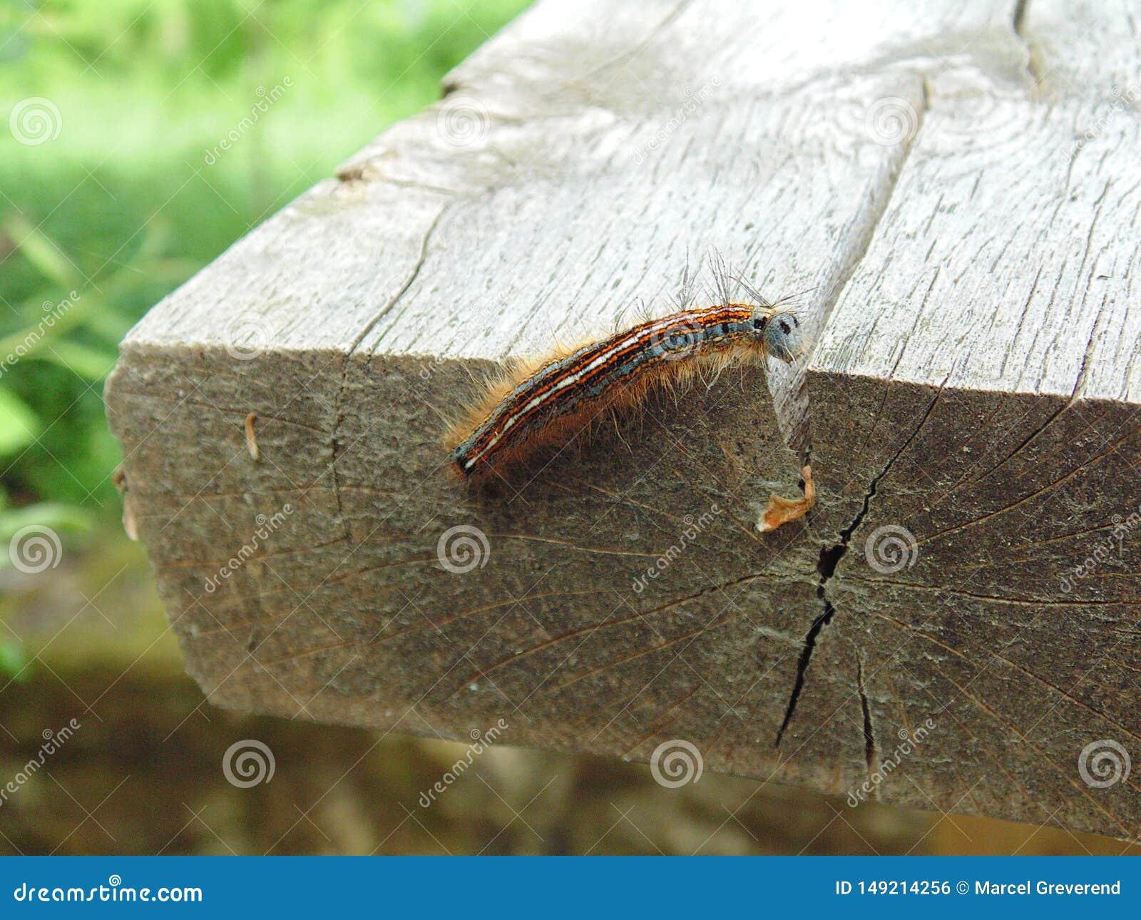 Malacosoma neustria] B??kitny motyli g?sienicowy lokaj