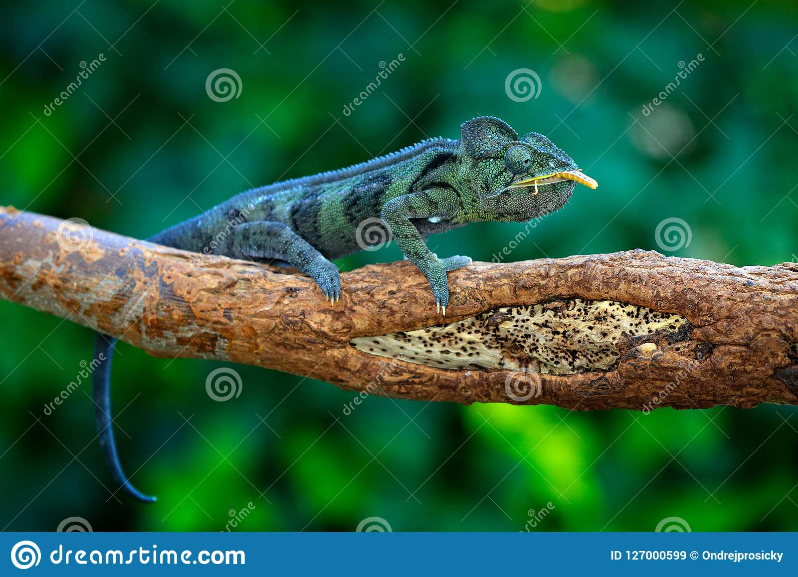 Malagasy giant chameleon, Furcifer oustaleti,sitting on the branch in forest habitat. Exotic beautifull endemic green reptile with