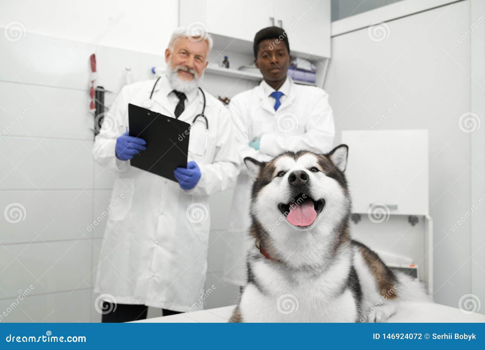 Malamute che si trova nella clinica del veterinario, veterinari che posano dietro
