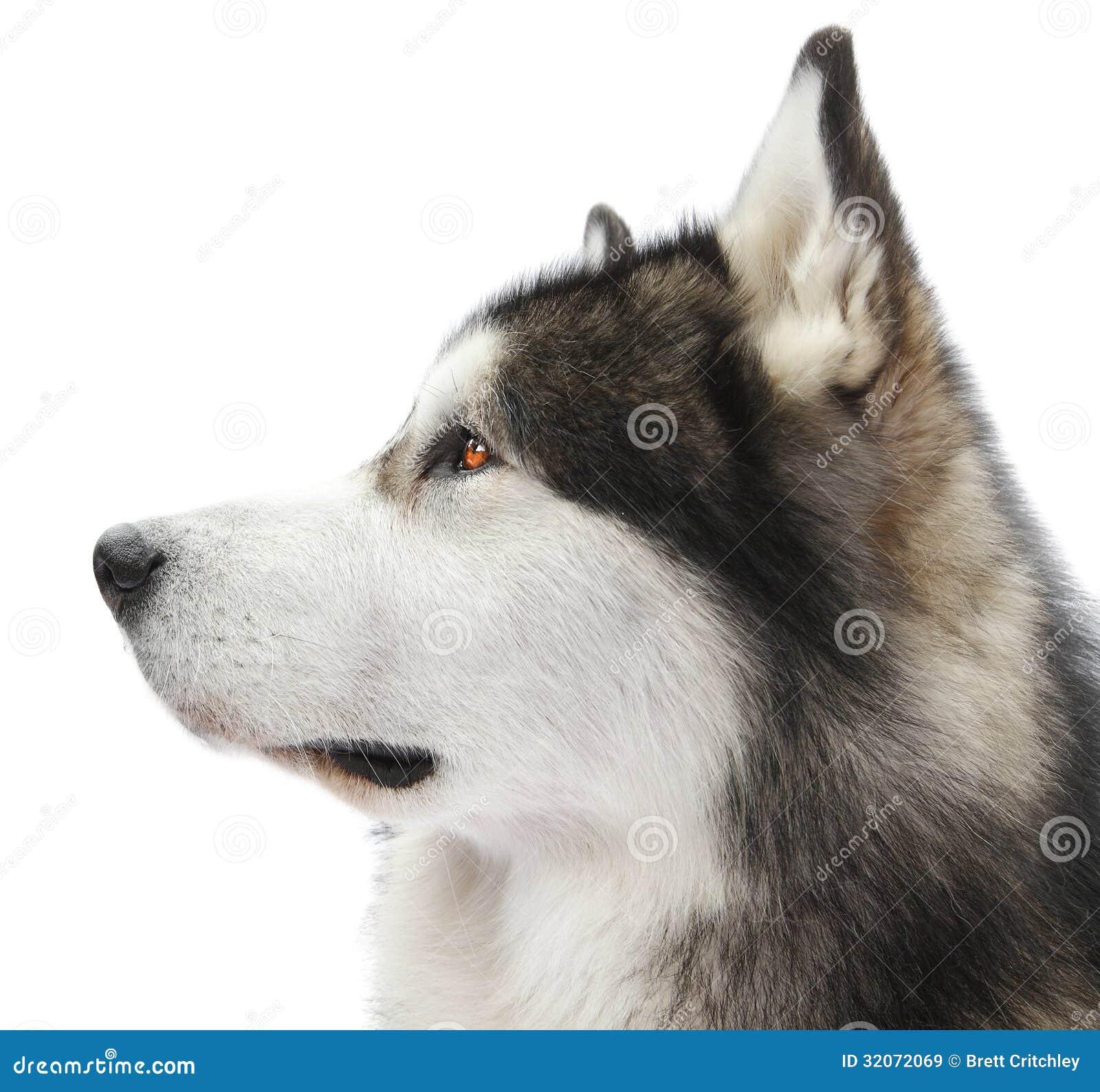 malamute dog portrait royalty free stock images image 32072069. Black Bedroom Furniture Sets. Home Design Ideas