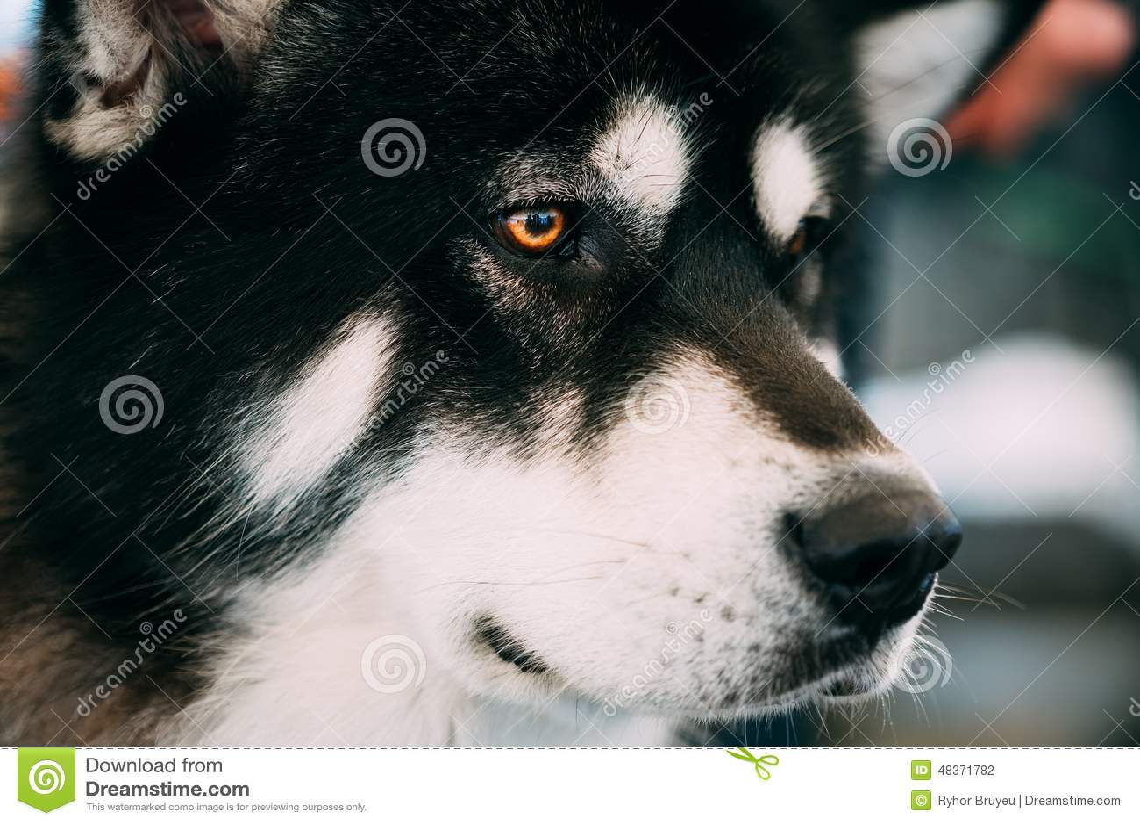 Malamute-Hond het Dichte Omhooggaande Portret van Alaska