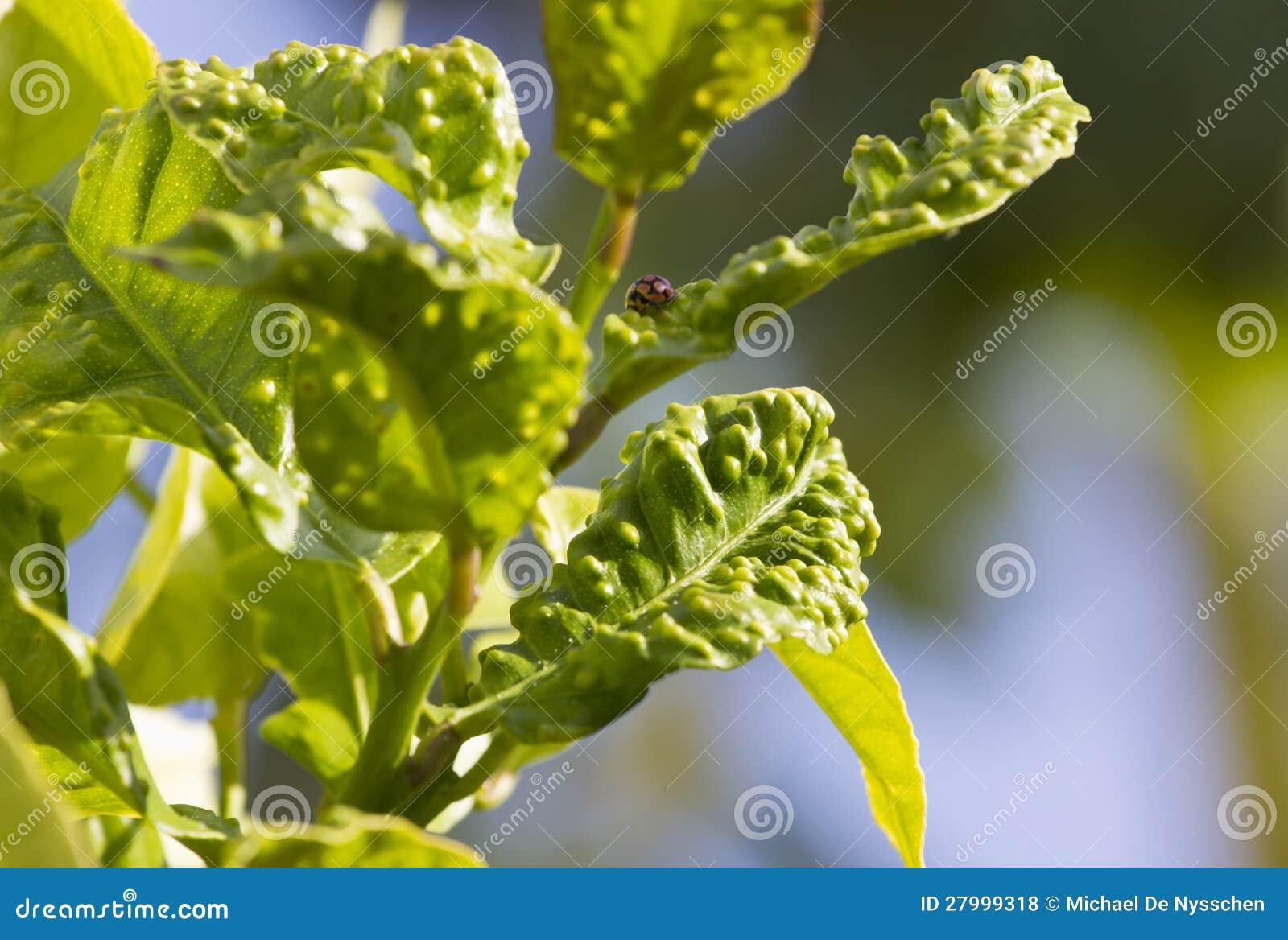 Malattia di psylla dell 39 agrume sulla foglia del limone for Malattie del limone
