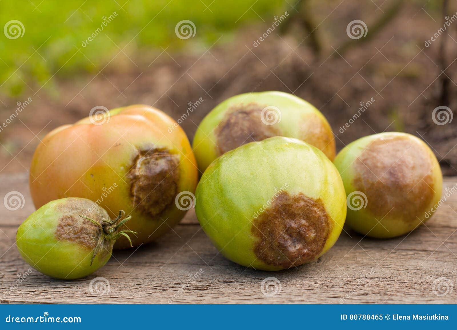 Malattie del pomodoro immagine stock immagine di frutta for Malattie pomodoro