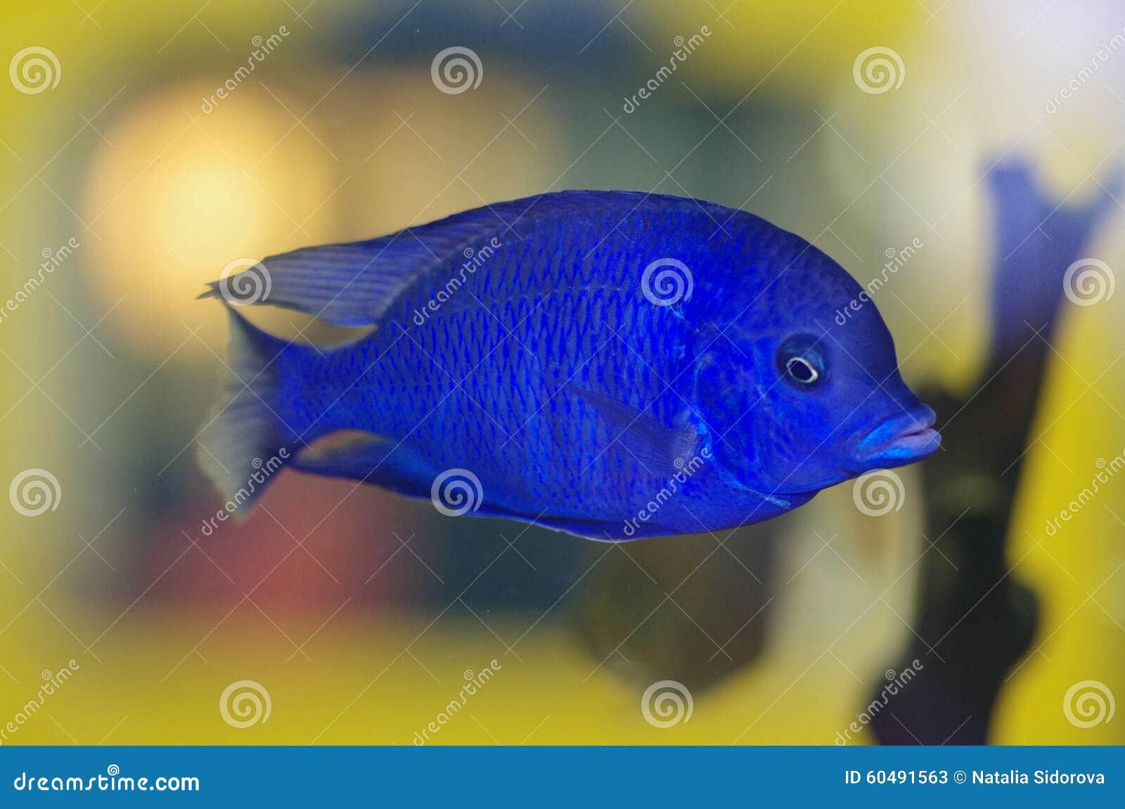 Malawi blue dolphin stock photo image 60491563 for Blue fish aquarium