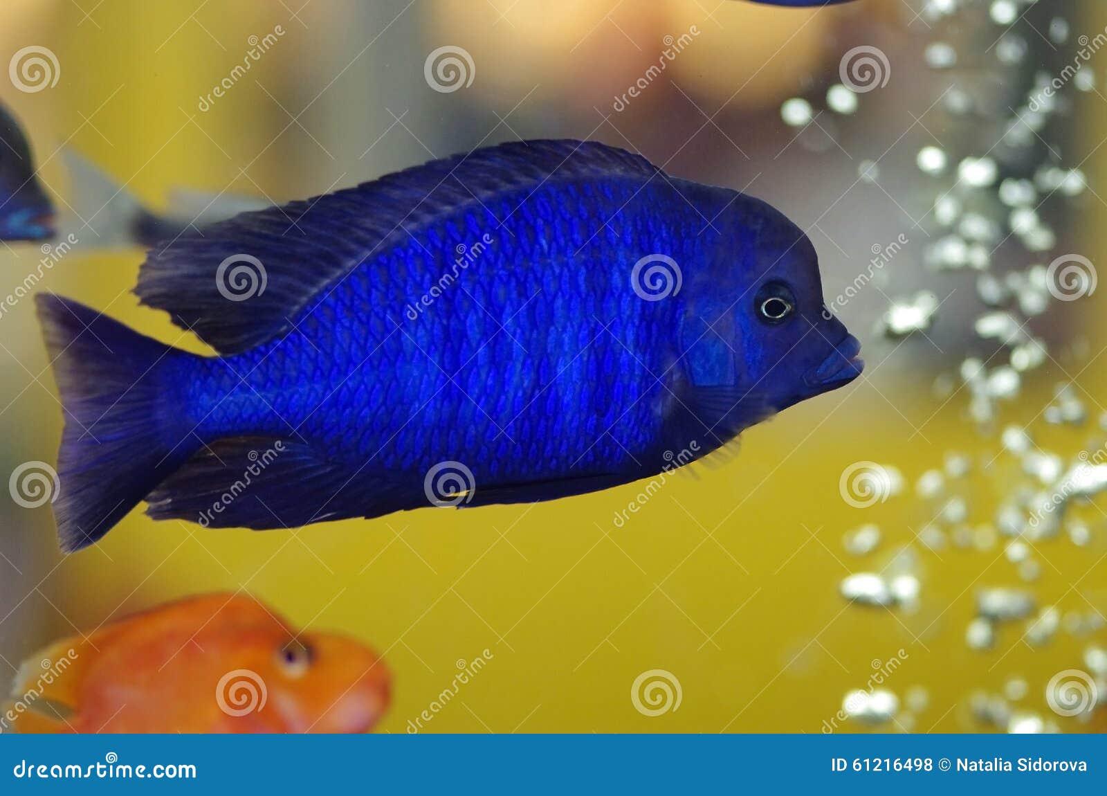 Malawi blue dolphin aquarium fish stock photo image for Blue fish aquarium