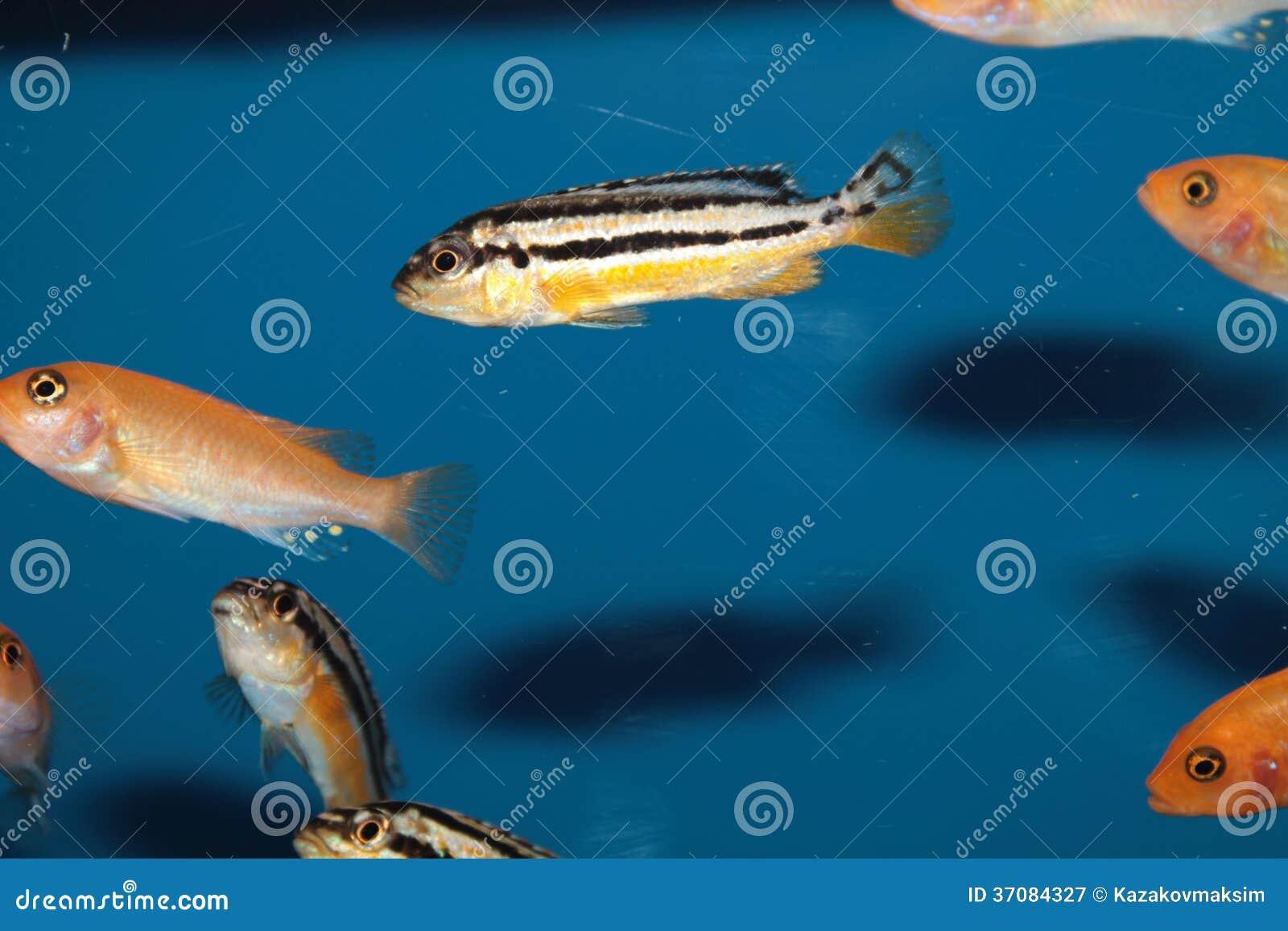 Download Malawi Cichlid Akwarium Złota Ryba (Melanochromis Auratus) Obraz Stock - Obraz złożonej z nadwodny, złoty: 37084327