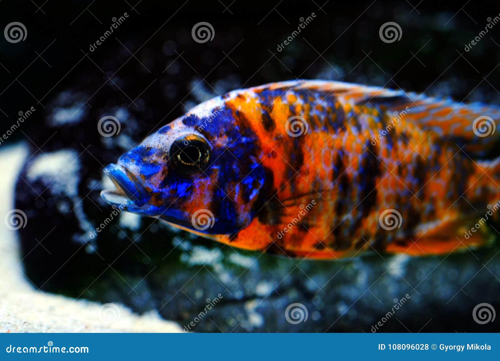 Malawi Cichlid Aulonocara Akwarium Ryba Słodkowodna Zdjęcie Stock