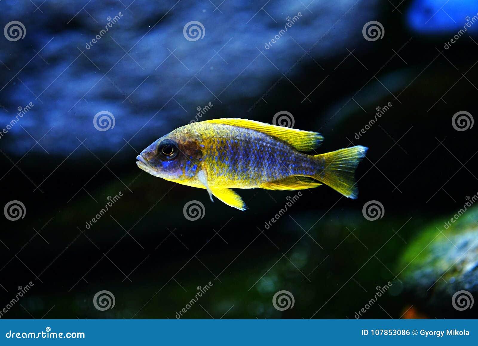 Malawi Cichlid Aulonocara Mamelele Akwarium Ryba Nieletni Zdjęcie