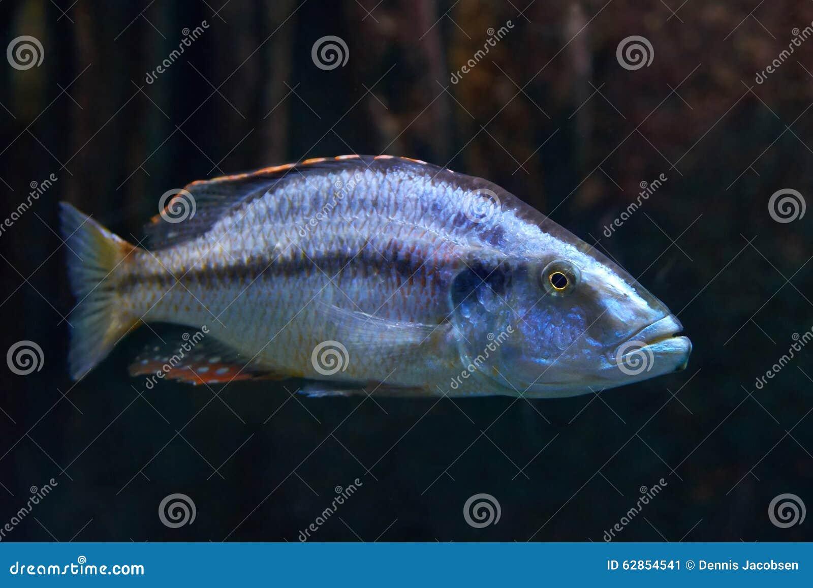 Malawi Eyebiter (Dimidiochromis Compressiceps) Stock Photo - Image ...