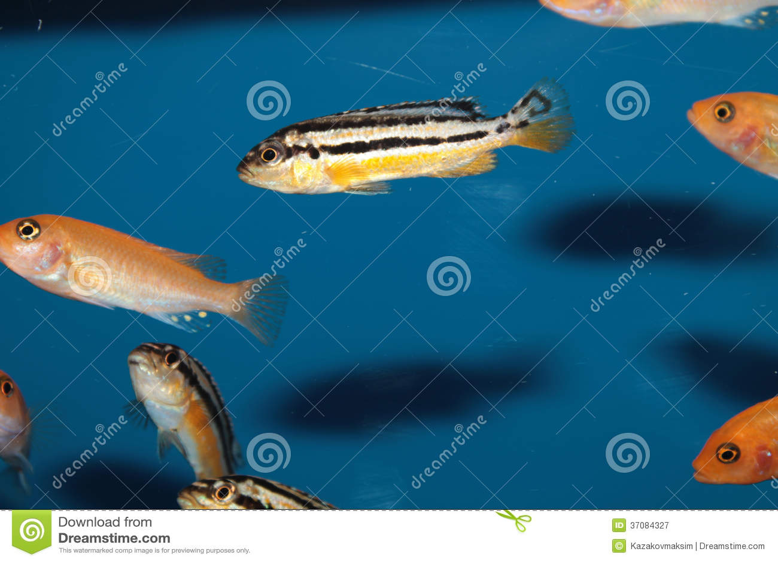 Malawi Golden Cichlid (Melanochromis Auratus) Aquarium Fish Royalty ...
