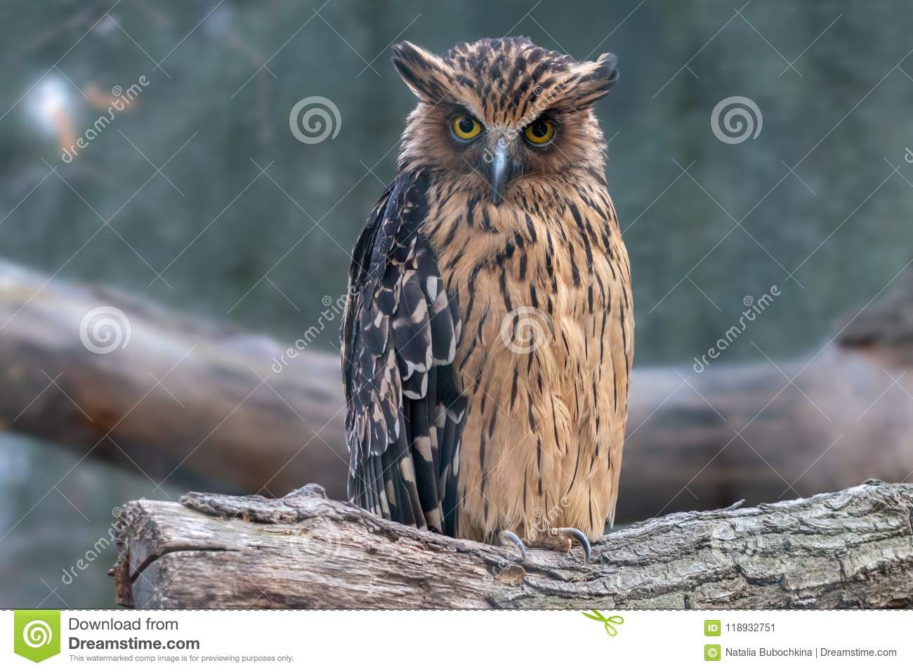 Buffy fish-owl sitting on a log with blurred background