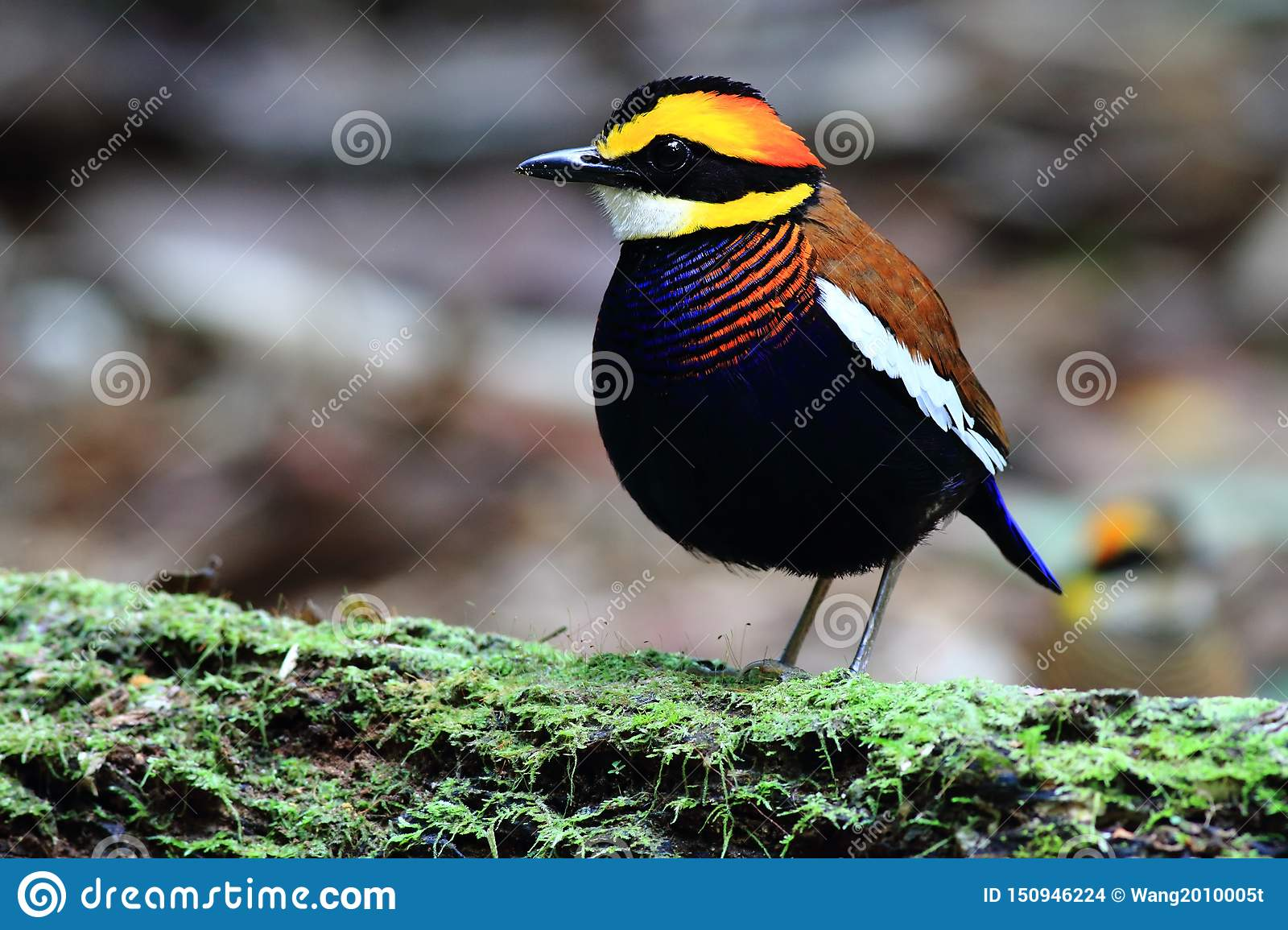 Malayan Banded Pitta male on the green timber
