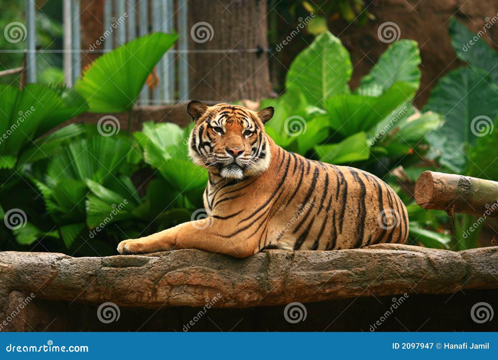 Malayan Tiger King Chi...