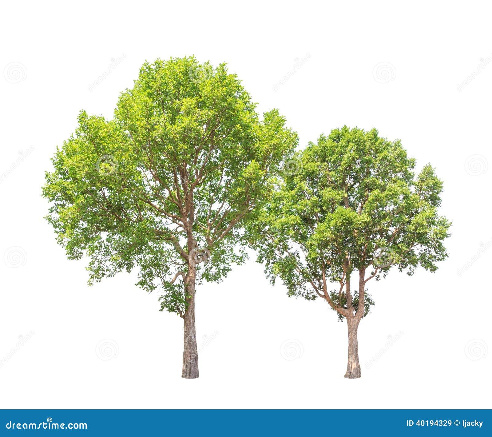 Malayana D\'Irvingia également Connu Sous Le Nom D\'arbres D\'amande ...
