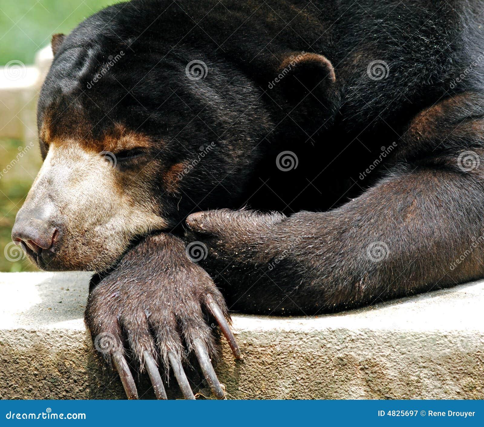 Malaysia, Penang: Asiatischer Bär