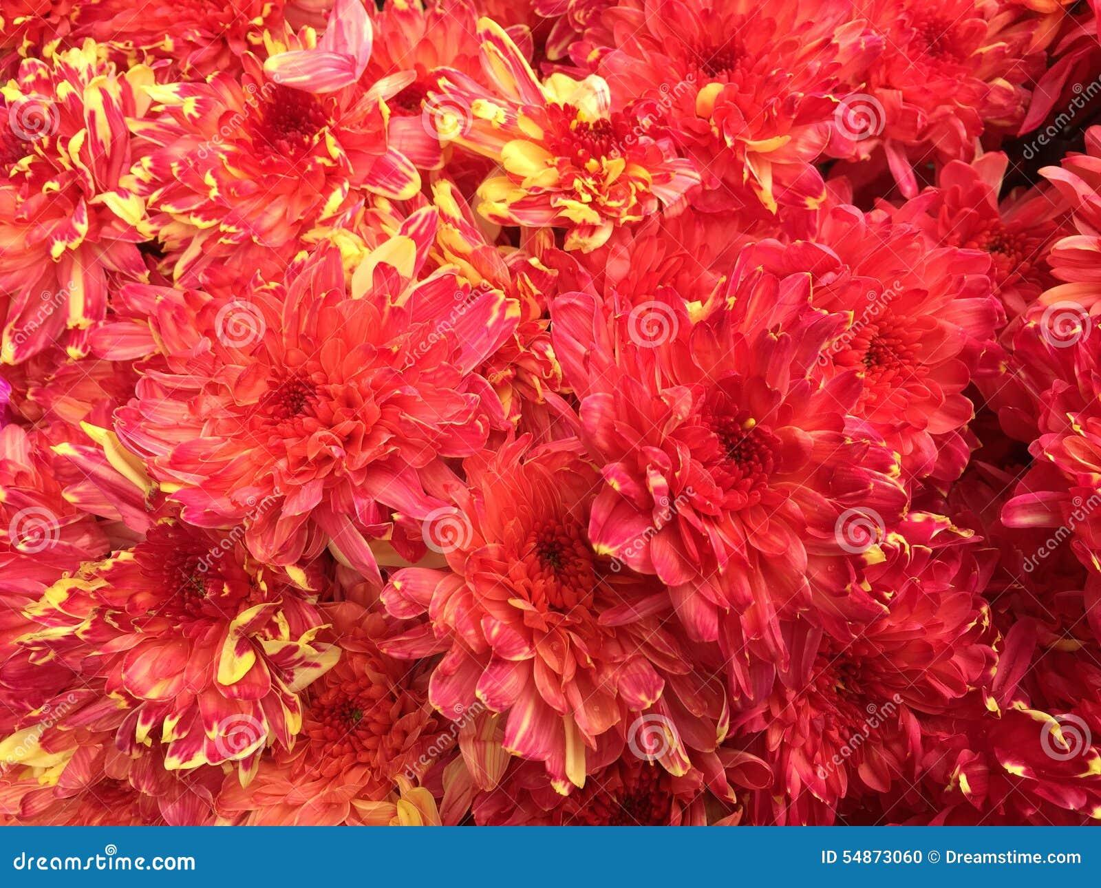 Malaysian Chrysanthemum Flowers Stock Photo - Image of flower ...