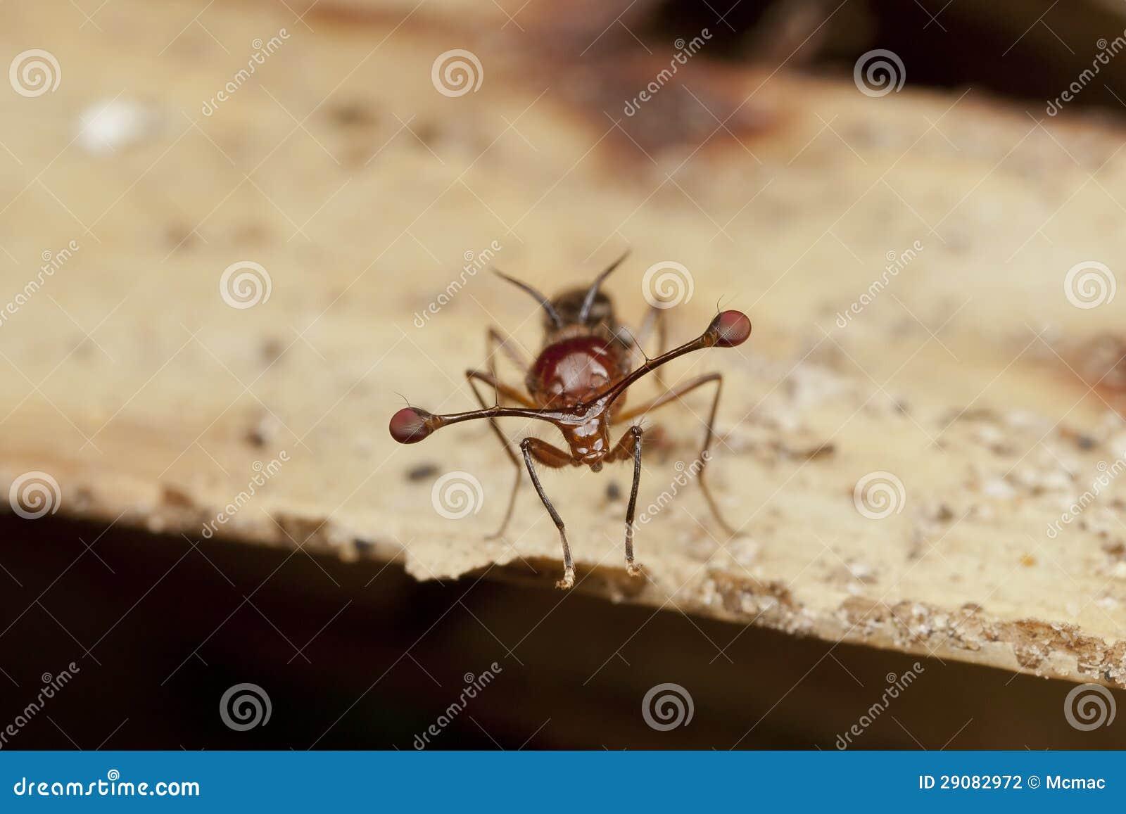 Malaysische Stiel-äugige Fliege