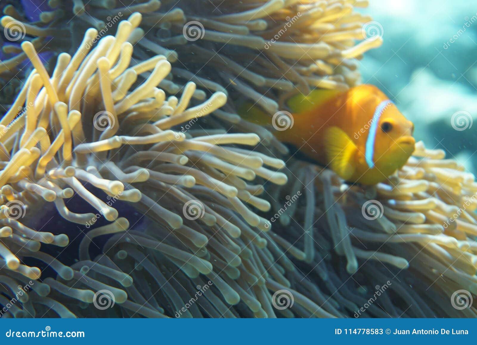 Maldives anemonefish Amphiprion nigripes