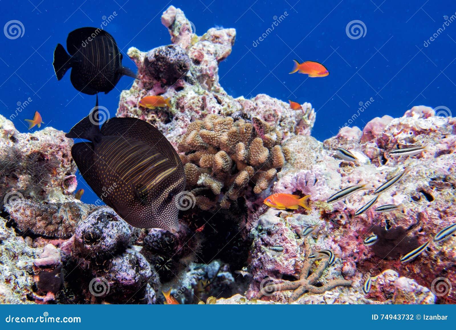 Maldives korale i Rybia podwodna panorama
