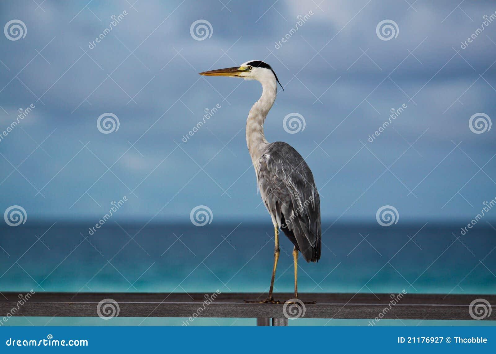 Maldives tropical seabird