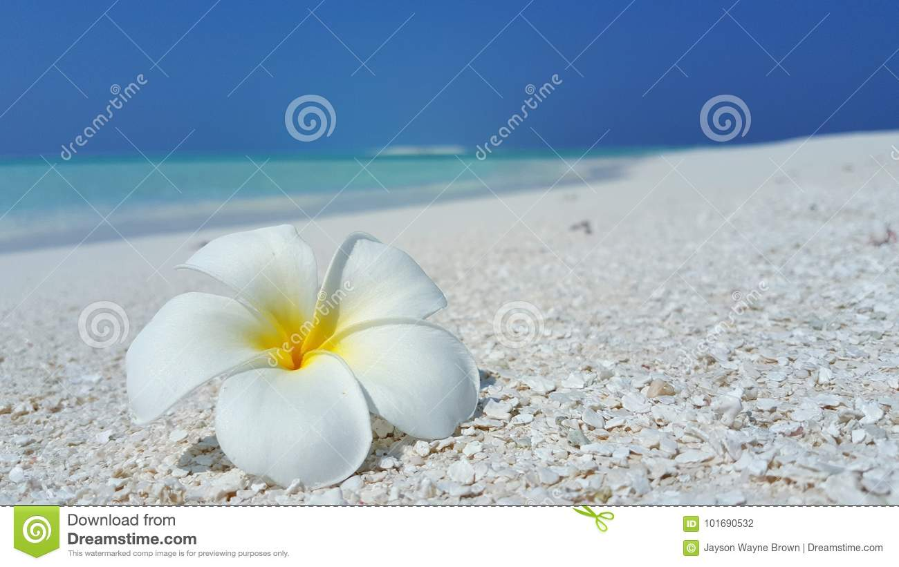 Download P01975 Maldives White Sandy Beach Yellow Flower On Sunny Tropical Paradise Island With Aqua Blue Sky Sea Ocean 4k Stock Photo - Image of paradise, sandbar: 101690532