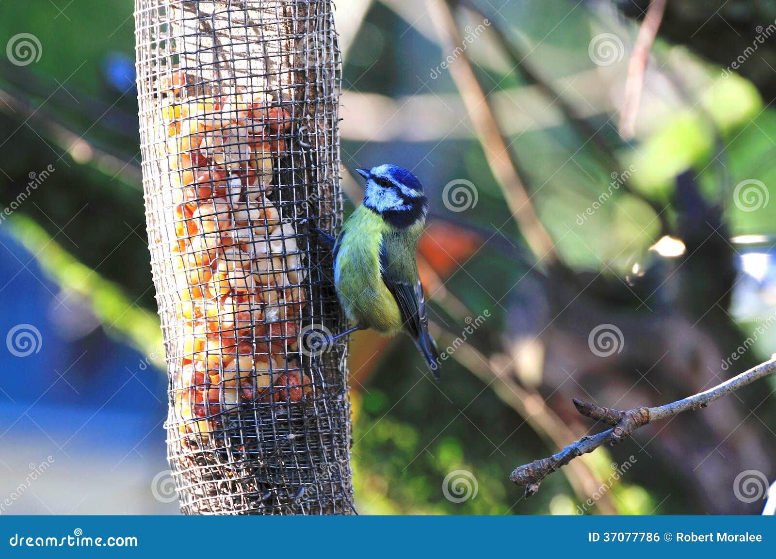 Download Maleńki Błękitnego Tit Karmienie. Zdjęcie Stock - Obraz złożonej z karmienia, drzewo: 37077786