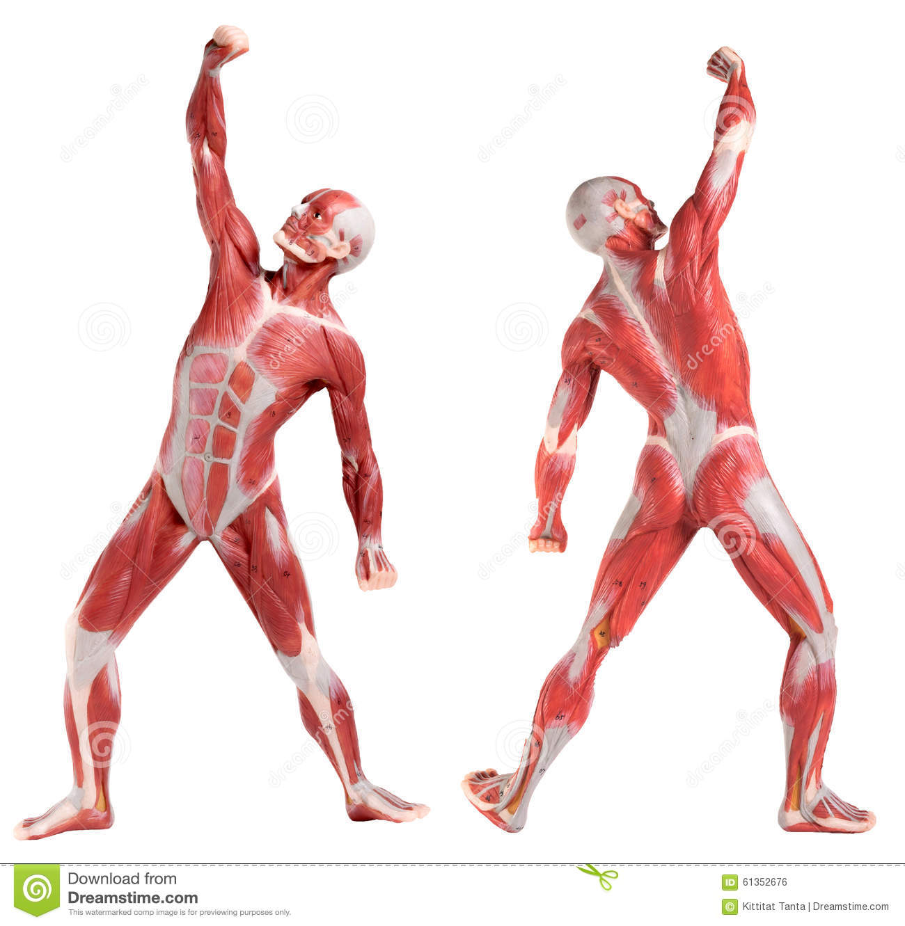 Male anatomy of muscular system (front and back view)