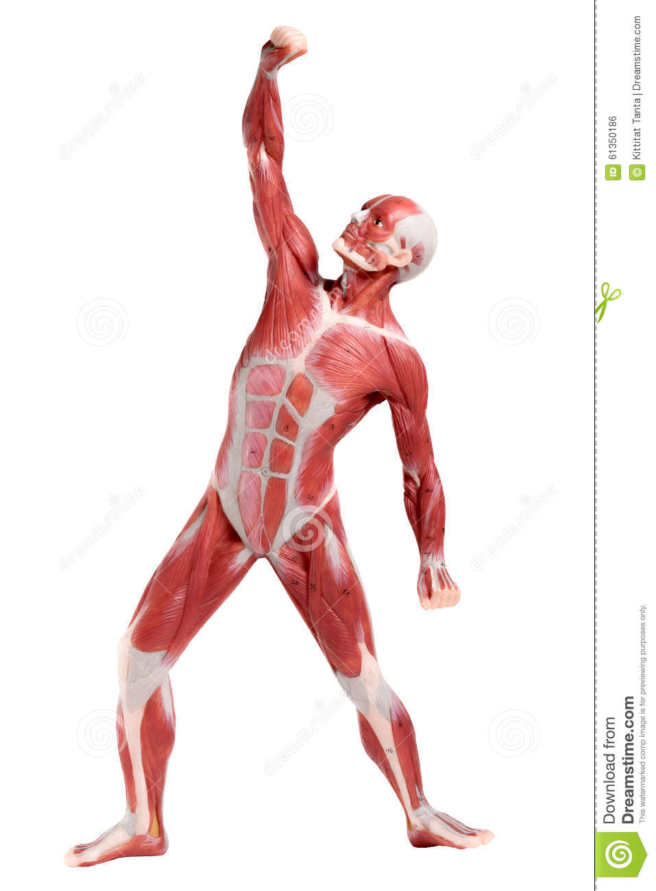 Male Anatomy Of Muscular System Stock Photo Image Of Chest Hand