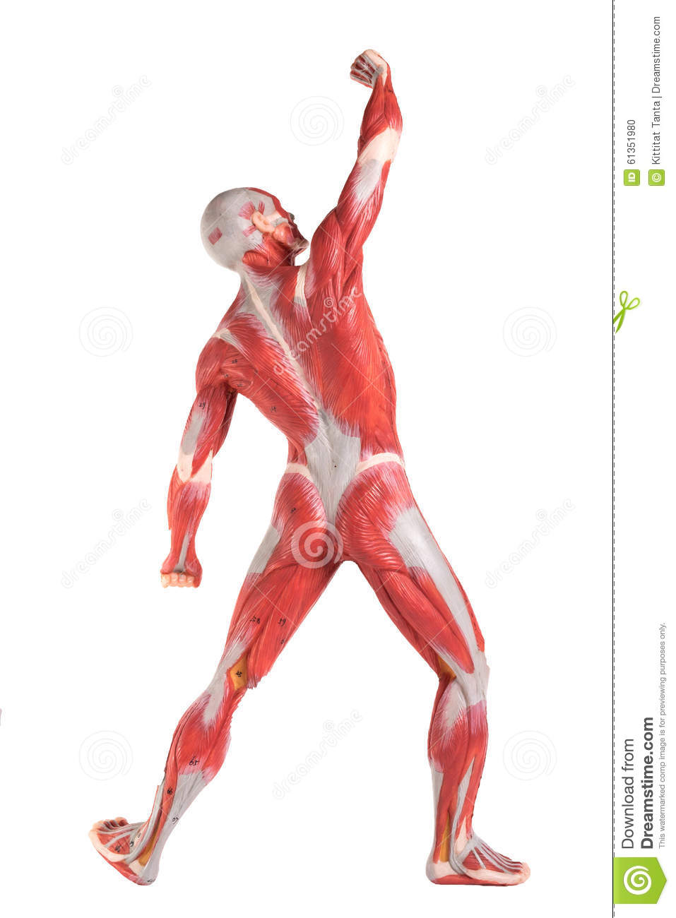 Male Anatomy Of Muscular System Stock Photo - Image of muscular ...