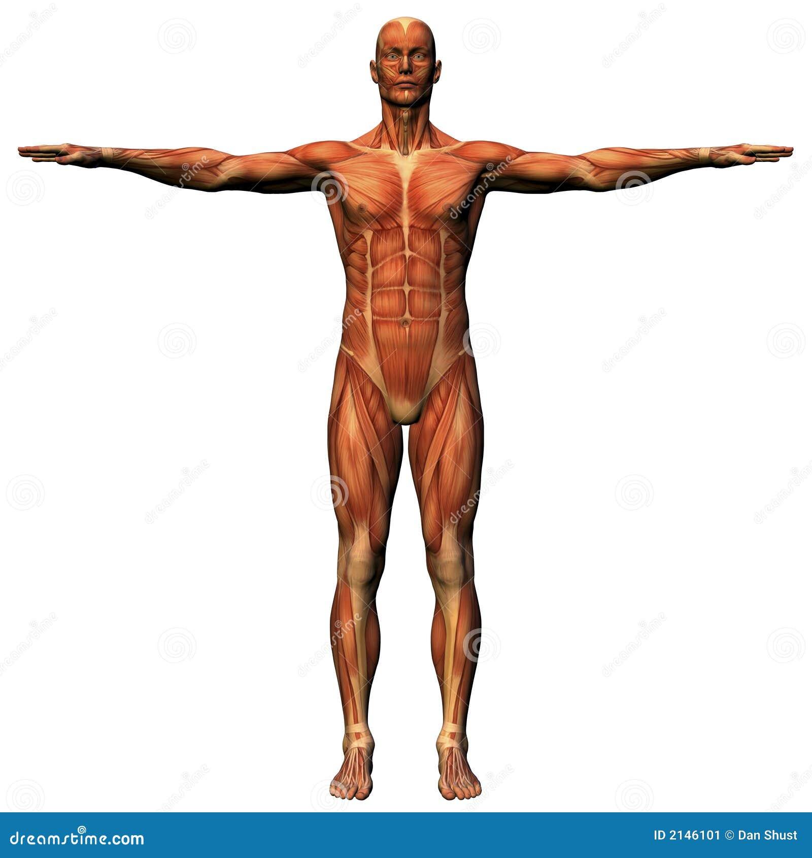 Male anatomy - musculature stock illustration. Illustration of ...