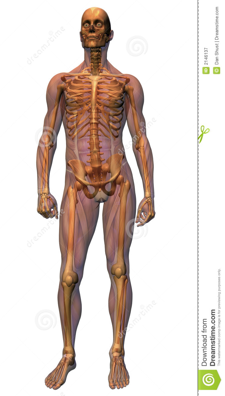 Male Anatomy - Musculature Wit Stock Illustration - Illustration of ...