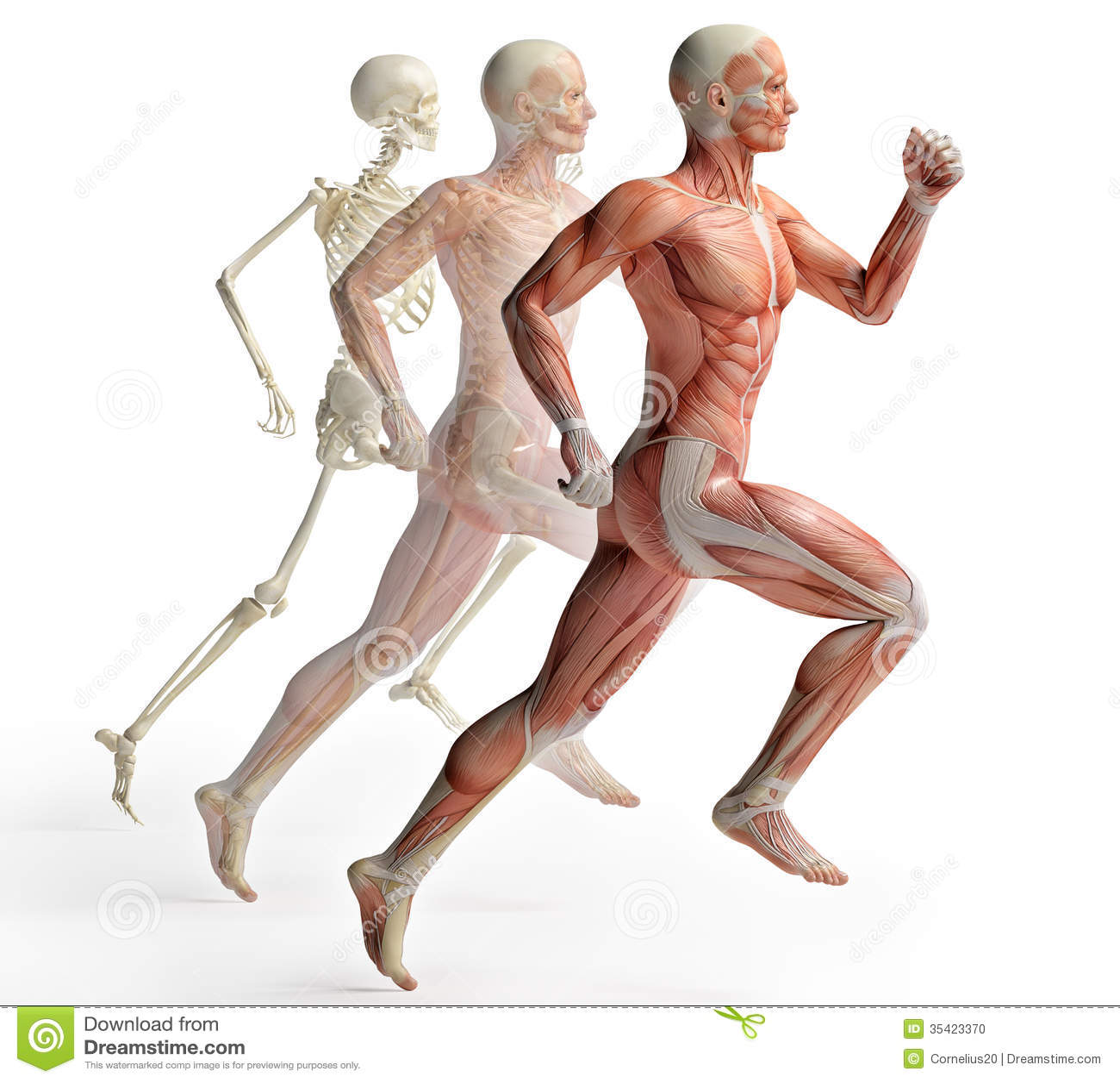 Male anatomy running stock illustration. Illustration of musculature ...