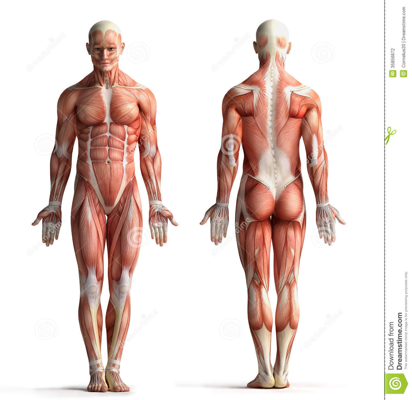 male anatomy – citybeauty, Human body