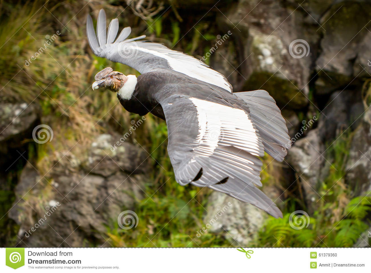 Male Andean Condor In Flight