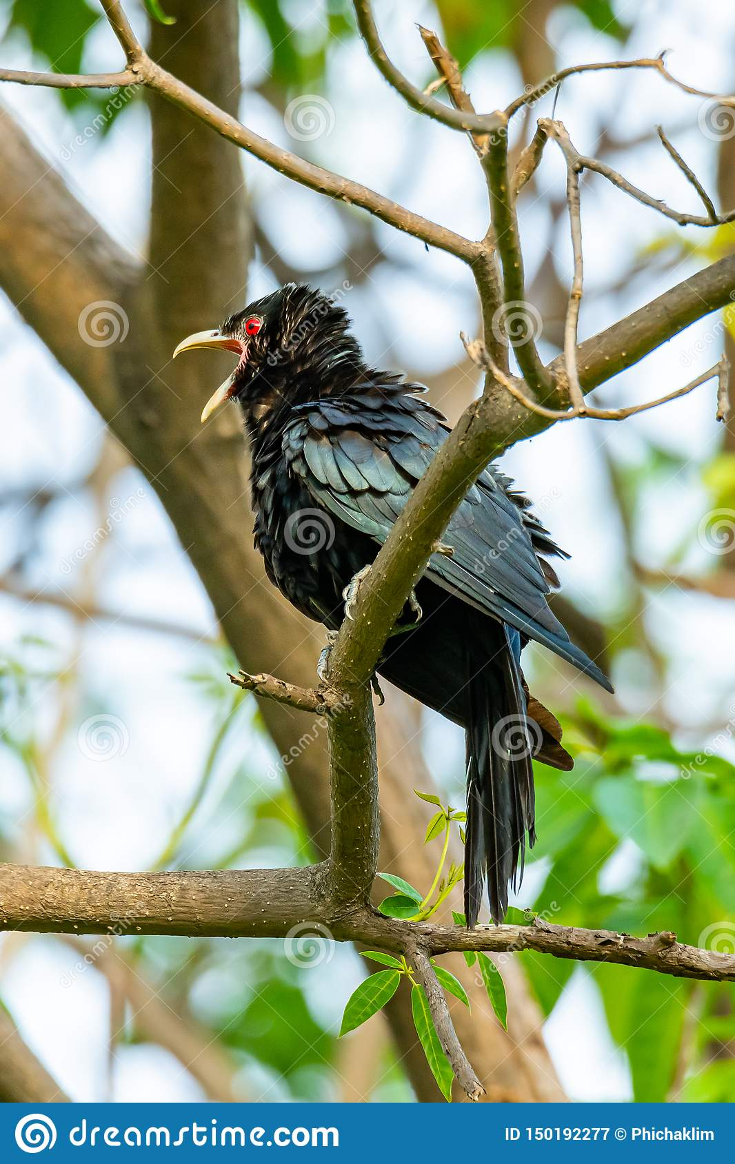 Male Asian Koel perching on a perch, opening its beak and puffing up its plumage
