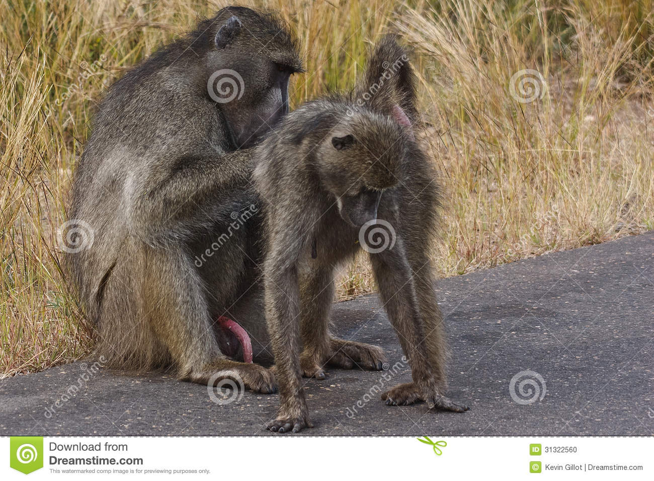 Male Baboon Grooming Female Stock Photo - Image: 31322560