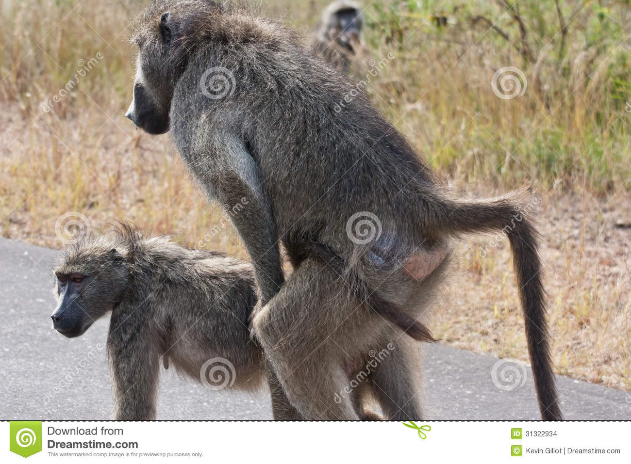 Chacma Baboon Male Showing Aggression South Africa Stock Photo ...