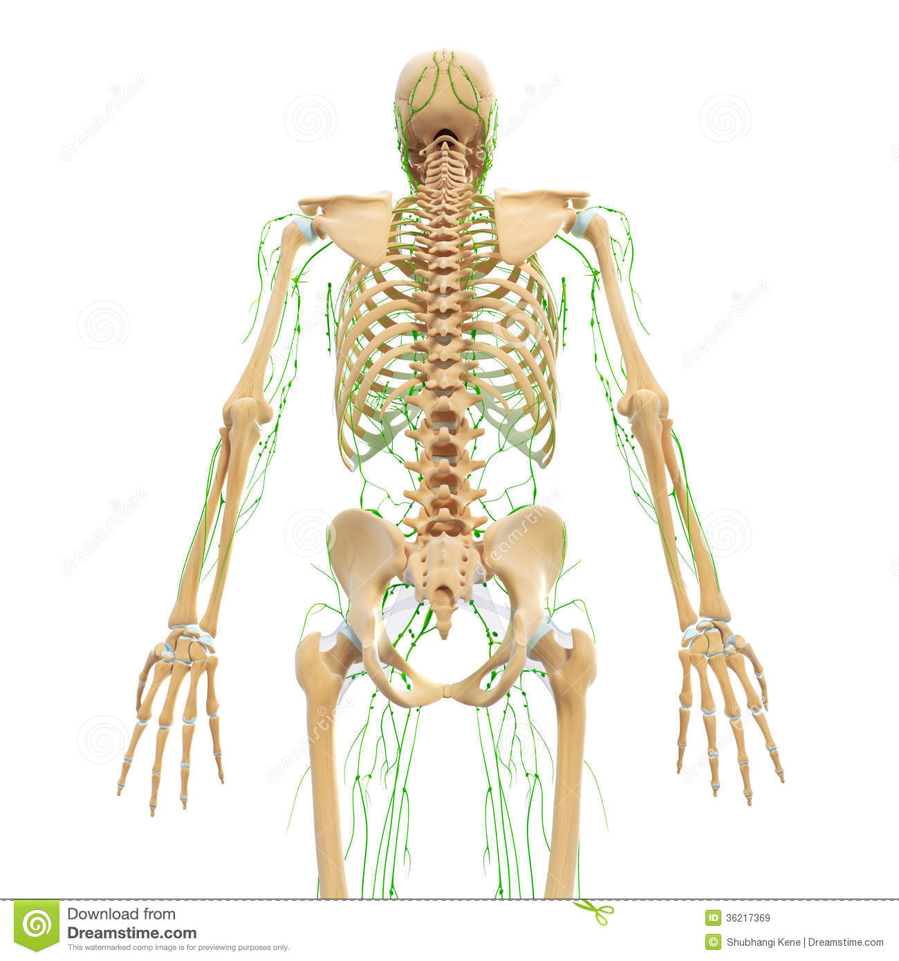 Male Back View Lymphatic System With Skeleton Stock Illustration