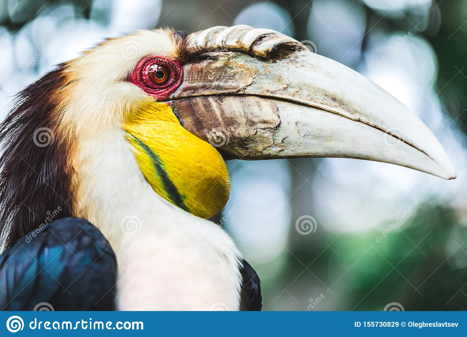 Male Bar-pouched Wreathed Hornbill portrait